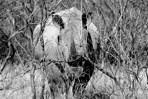 Endangered horns...