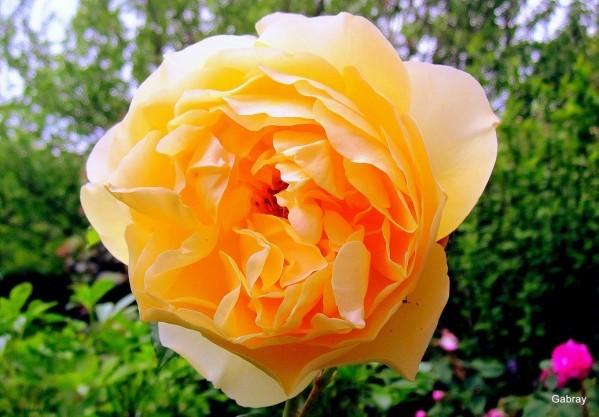 z27 - Rose jaune