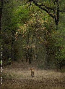 Secrets de l'Inde sauvage - Le désert du lion bande annonce