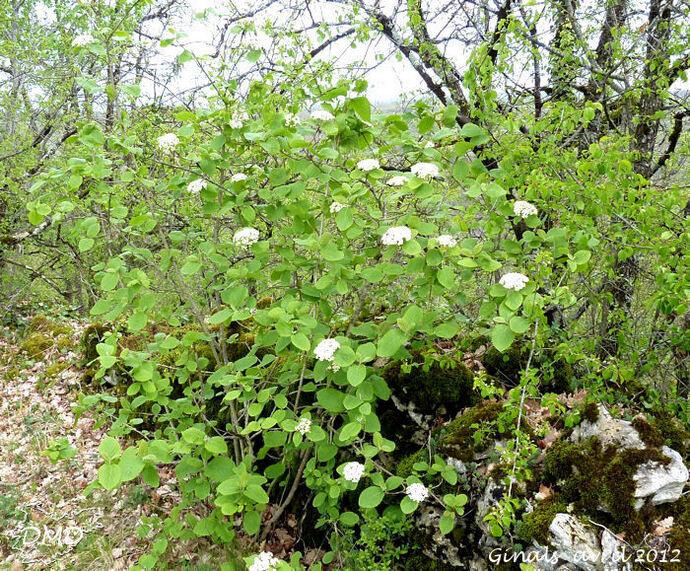 Viburnum lantana - viorne lantane - viorne mancienne