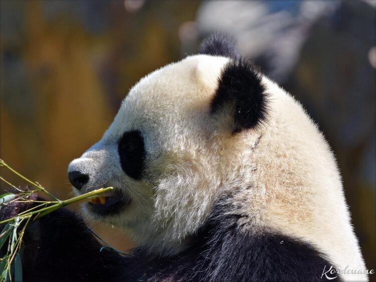 Photo de Pandas géants - Zoo de Beauval