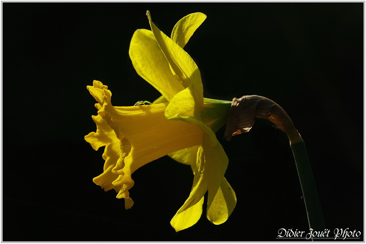 Narcisse (2) - Narcissus