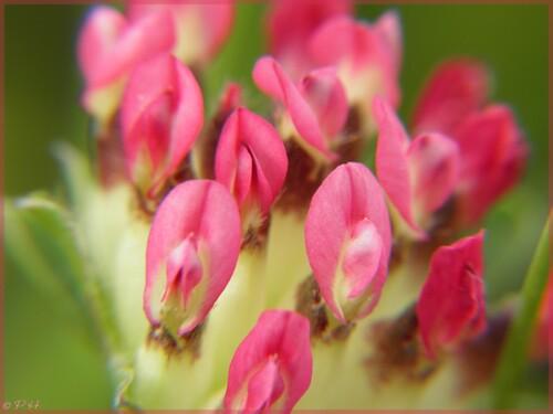 Anthyllide vulnéraire à fleurs rouges