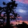 baobab à la tombée de la nuit.JPG