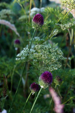 Des compagnes pour mes roses : Allium sphaerocephalon