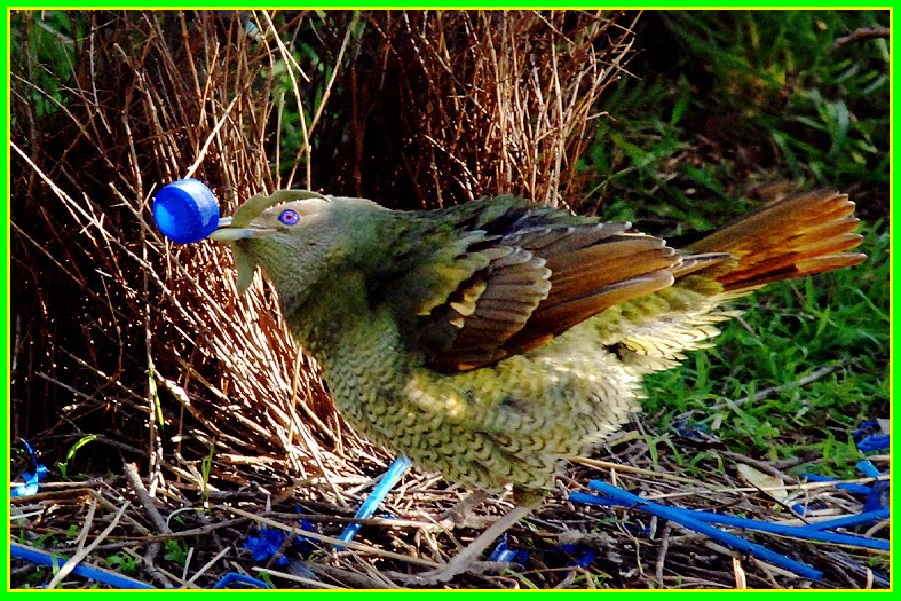 l 39 oiseau jardinier lebonsens