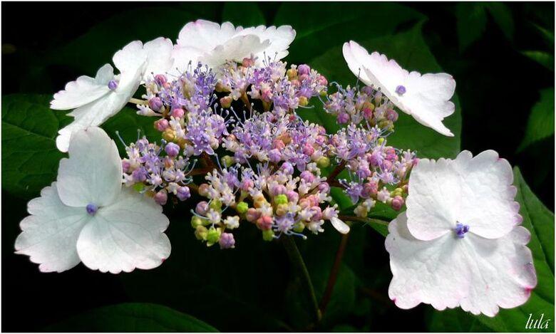 Les Hortensias (hydrangea)