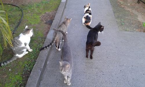Les chats Martinique