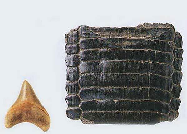 Comparatif carcharocles et raie