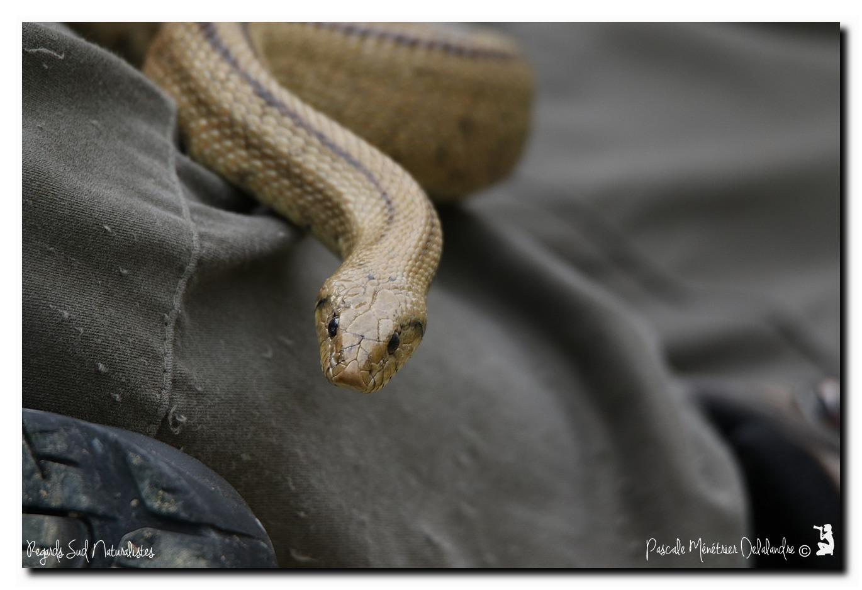 Couleuvre à échelons - Rhinechis scalaris (la femelle)
