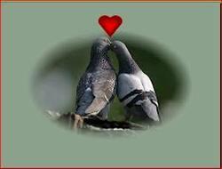 Cœur de pigeons.