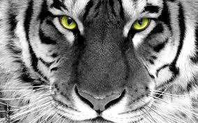 """Résultat de recherche d'images pour """"tigre yeux verts"""""""