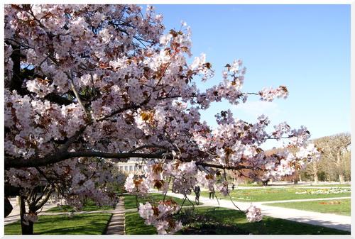 Les cerisiers du Japon au Jardin des plantes