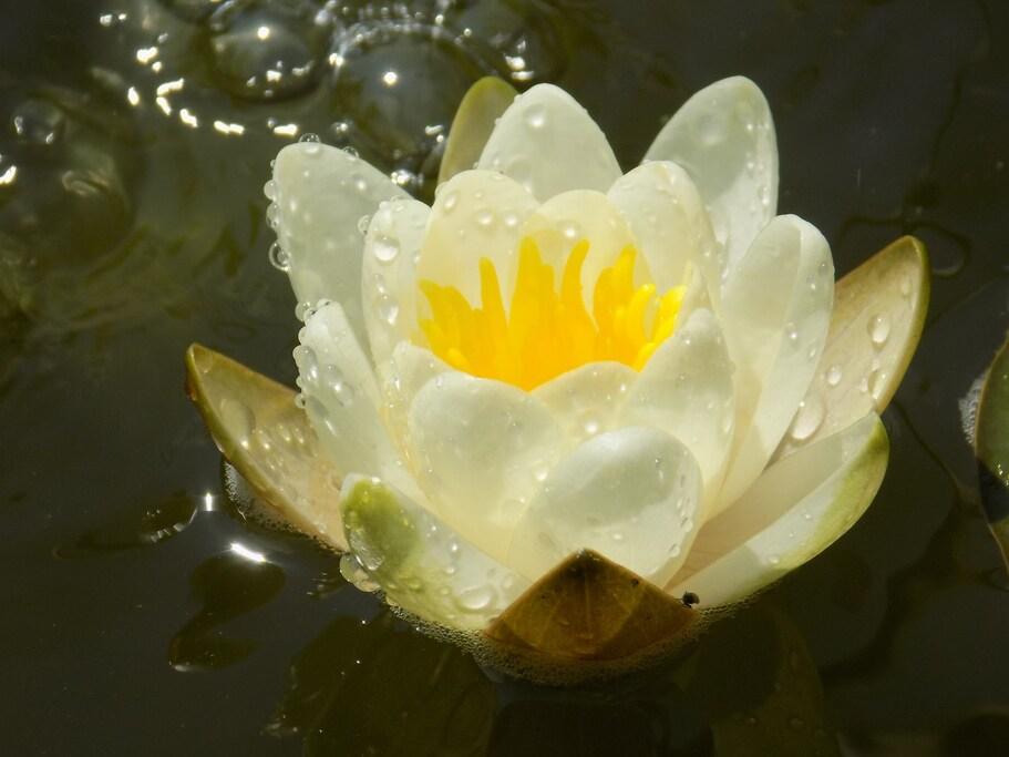 Fleur zen