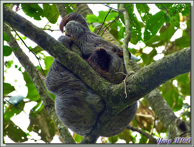 Blog de images-du-pays-des-ours : Images du Pays des Ours (et d'ailleurs ...), Gros paresseux (Aï) paressant - Refuge National de Faune Hacienda Barù - Dominical - Costa Rica