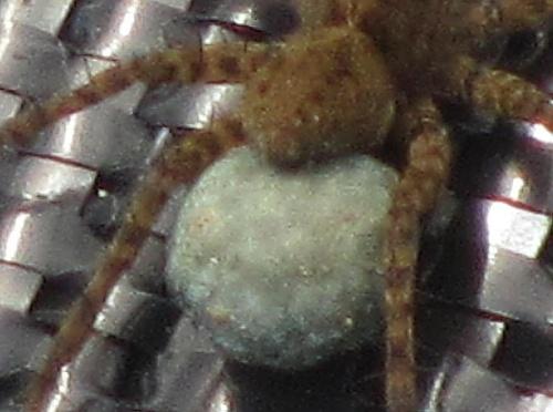 Pardosa sp. (peut-être groupe amentata hortensis agricola morosa)