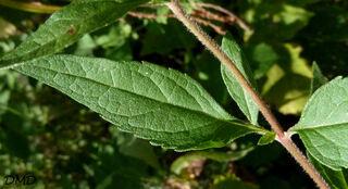 Eupatorium cannabinum - eupatoire à feuilles de chanvre - chanvrine
