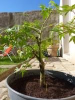 acer palmetum katsura