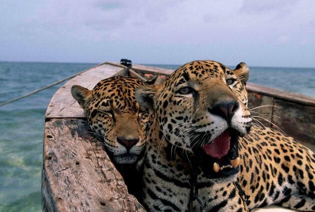 Jaguars National Geographic