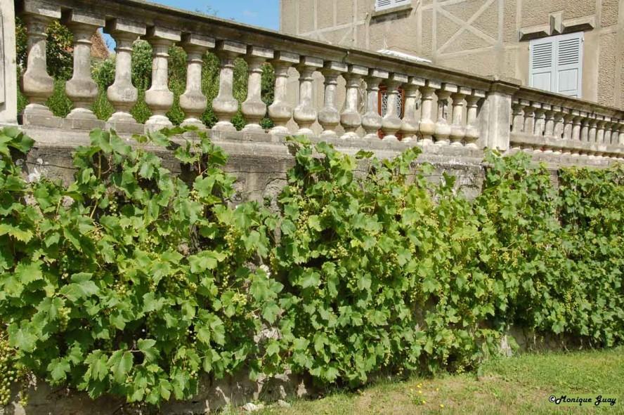 Plantes-et-v-g-taux 9235-raisin