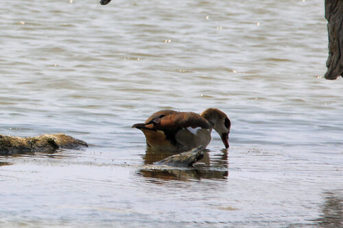 Ouette d'Egypte (Egyptian Goose)