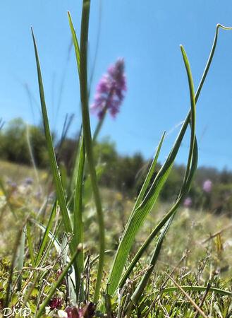 Ranunculus gramineus  -  renoncule à feuilles de graminée