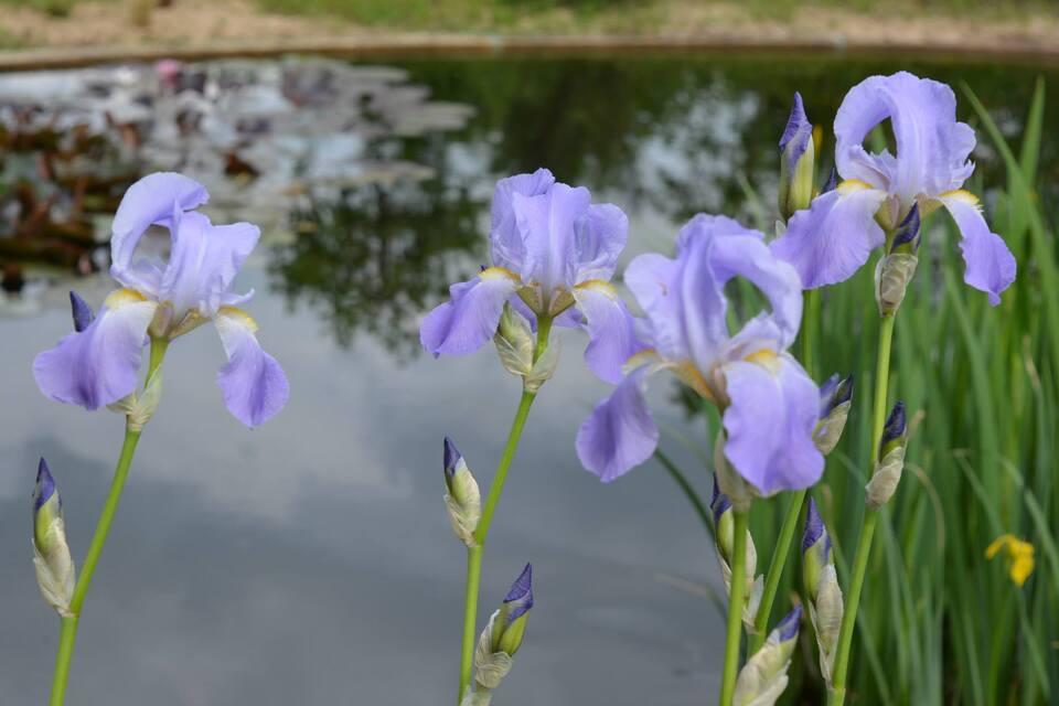 L'Iris