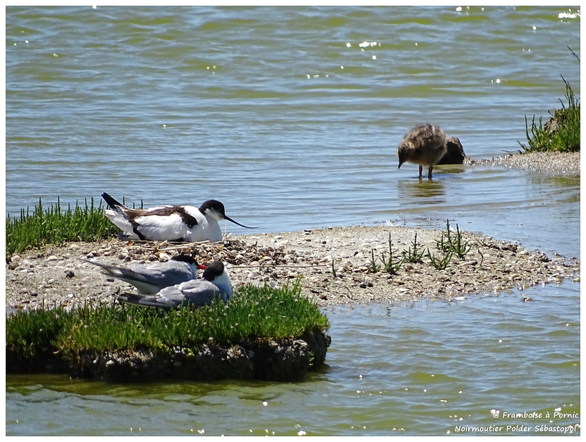 sterne pierregarin au nid , bébé mouette, Avocette au nid