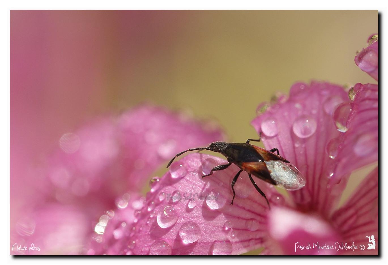 Punaise Lygaeidae - Oxycarenus lavaterae