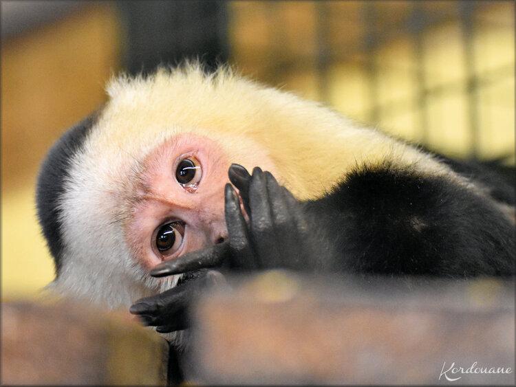 Photo singe Capucin à épaules blanches