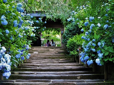 Hortensias au Japon ...