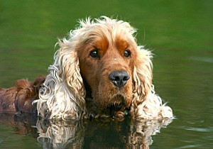 english-cocker-spaniel