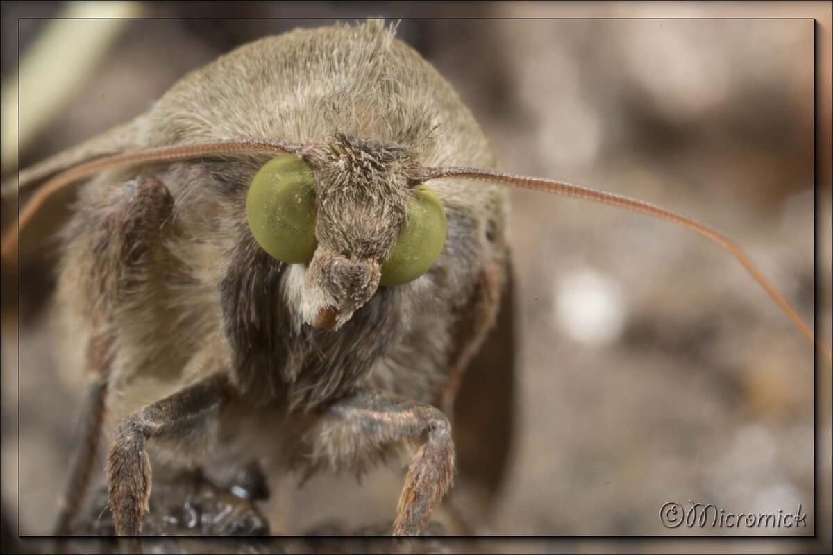 Papillon Noctuelle de la tomate (Helicoverpa armigera)
