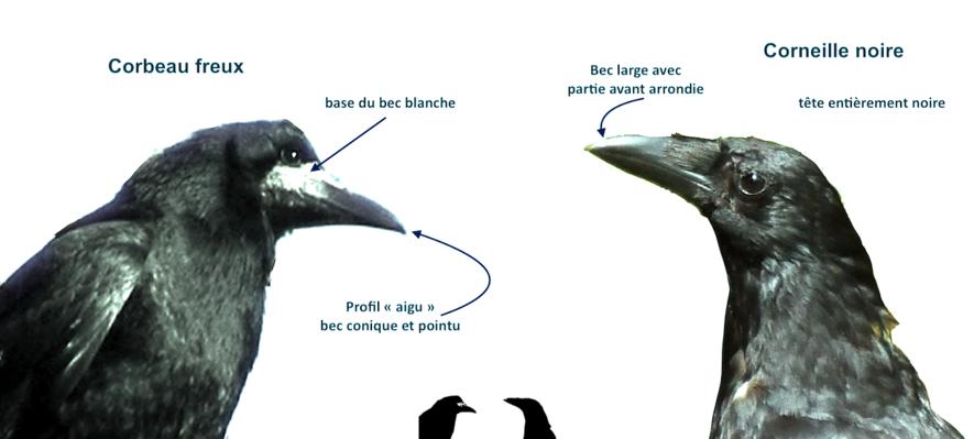 Portrais d'oiseaux: La corneille noire (corvus corone) (1) *