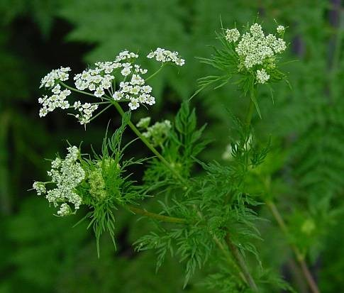 leo-mic-Chaerophyllum-bulbosum-525