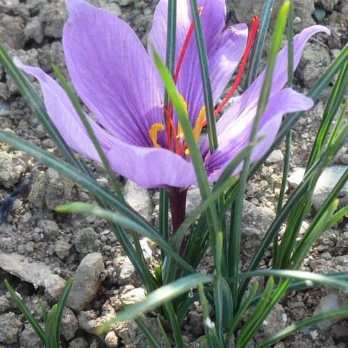 Fleurs cultivées : Crocus