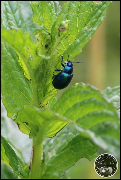 La chrysomèle de l'aulne, un coléoptère bleu métallique