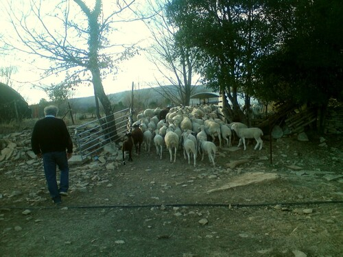 Les agneaux  dans la garrigue