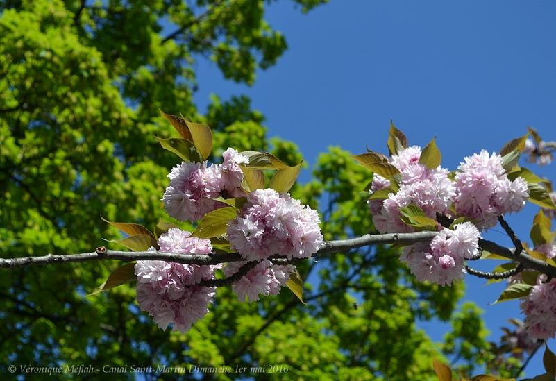 Canal Saint-Martin :  A l'ombre des cerisiers en fleurs ...