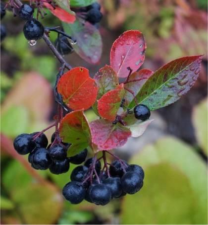 Aronie noire - Aronia melanocarpa