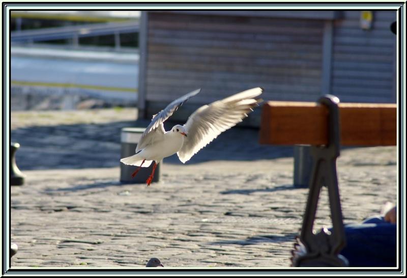 Ballet des mouettes sur les quais de La Rochelle