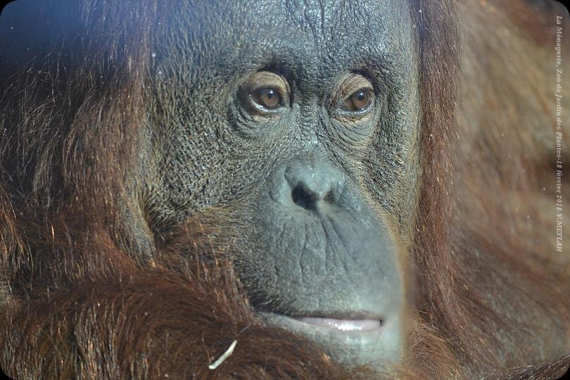 Ménagerie du Jardin des Plantes : L'Orang-Outan