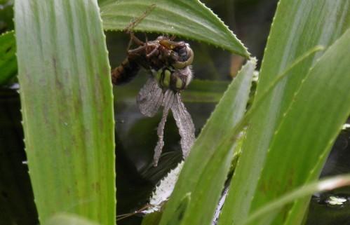 libellule sèche ailes gp
