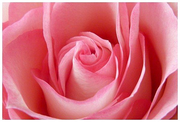 rose-macro-bbb.jpg