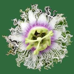 Passiflore - Fleur de la Passion
