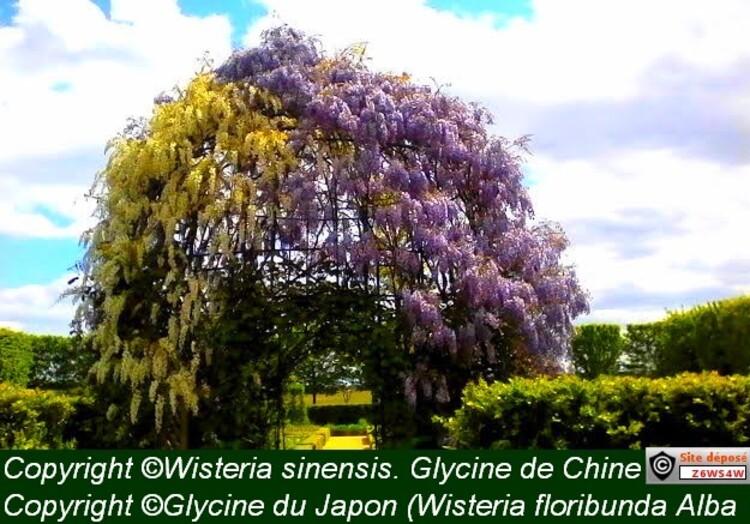 reconnaissance des végétaux,Wisteria sinensis. Glycine de Chine,conseil de plantation