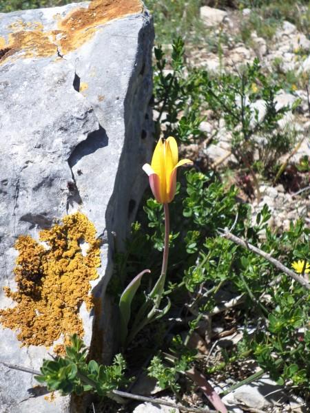 Tulipe méridionale (Tuchan Mai 2016)