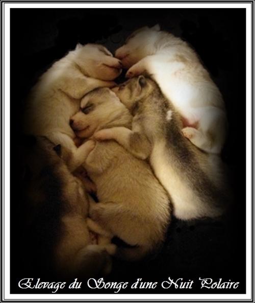 Sieste chiots Huskys