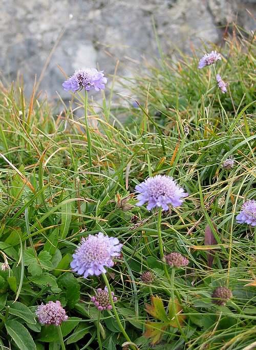 Vertus médicinales des plantes sauvages : Scabieuse Succise