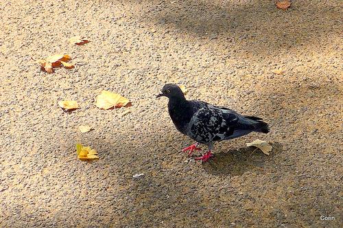 Les beaux pigeons